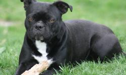Iris is a beautiful Victorian Boston Bulldog, she is looking her her permanent retirement pet home. Iris is completely house and crate trained, she is looking for a quiet pet home as she tends to be a little shy of new situations. Because of this, I would
