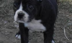 I have 1 pup available from this wonderful litter, he is 12 weeks old and ready for his new home. This little boy is a very sweet pup. He is very smart and is always watching and learning. He is house trained and kennel trained. I expect him to mature