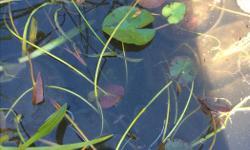 Water lilies in pots, $4 each Pond plants $2 each