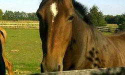 Hyla is an 11 yr old bay mare by Salut.  She has excellent barn manners and has no vices.  She needs an intermediate rider and loves to jump.  She would make an excellent jumper or combined training horse.  I simply don't have the time to ride her.
