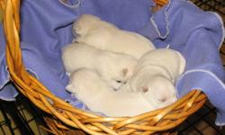 GOING OUT OF BUSINESS!!! (2) left Purebred Westie Female Puppies available Nov.9/2011. First needles,DE-wormed,micro-chipped, Mother & Father on-site.,CKC registered.One year health guarantee.Please call to make an appointment to pick your puppy now.