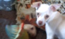Hello I have a chihuahua puppy forsale. She is white/ blonde and she is only 8 months old. She loves to play, go for walks, and just be loved. She has her first set of shots, dewormed and vet checked. She is 300.00 obo. Please call (705) 733 - 0948 or