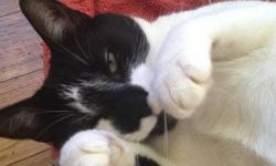 Willy is a sweet and very handsome tuxedo black and white cat, approximately 1-2 years old. He's a confident, friendly and independent boy who is very grateful to have love, regular food and a warm place to sleep. He loves to watch the world go by from