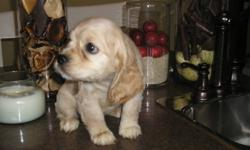 Wonderful litter of Cockapoo! I have both boys and girls! Ready for their New Homes! Both playful and healthy! Hypo-allergenic, great for those with allergies! Tails have been docked. Pups will reach approx. 15-20 pounds when full grown. Each pup goes
