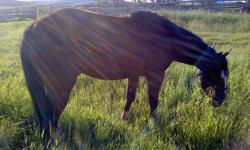 Willy is a papered AQHA flashy bay four year old gelding. He hasn't had much done with him but is a hip pocket kind of horse. I don't think he would take much to start. I just don't have the time.UTD with his wormnig and his feet. $975.00