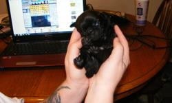 i have 3 black boy puppies pugs, they are ready to go to a good home and have their first shots and deworms ps please contact Lorraine or Archie ty. if you cant contact me on the number i provided please call me on this number 226-886-1565 thank you.
