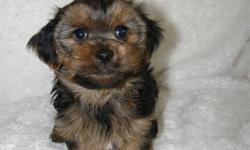 Fabulous Quality Yorkshire now ready for his forever home! Regular Size baby boy- estimated weight 7lbs- $650 Mom is a 7lb Yorkie and Dad is a 5lb Yorkie All Puppies come: ? Vaccinated ? Dewormed ? Vet Checked ( with letter from our vet) ? Dew Claws