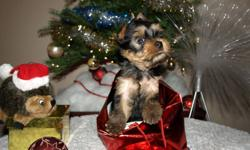 CKC registered Yorkie (Yorkshire terrier) Boy is looking for his forever home. He was born on the 19th of October, will be ready to go at Christmas time. His attitude is the best what you can find in dogs. Very obedient and sweet. Will be 7-8 lb full