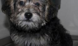Yorkie-poo Male 12 Weeks - Sleeps through the night!! This Yorkie poo has loads of energy and play in him. He will be nonshedding and hypoallergenic. This puppy will make a fabulous loving family companion and will require some grooming. This adorable