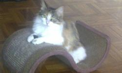 Breed: Domestic Medium Hair   Age: Young   Sex: F   Size: S Chloe is a sweet, quiet little girl. She has been spayed, vaccinated, and dewormed, Chloe loves to sit beside the window and enjoying the weather. She was estimated around 8 month old. Chloe