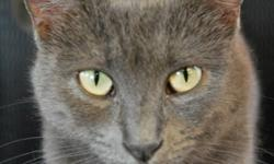 Breed: Domestic Short Hair-gray   Age: Young   Sex: F   Size: M DOB October 20, 2009. Chantal is a very special and sweet little girl. She loves affection and enjoys being pet and cuddled (she especially loves getting her belly rubbed). She's very gentle