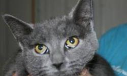 Breed: Domestic Short Hair-gray   Age: Young   Sex: F   Size: M India is a one year old grey DSH.   View this pet on Petfinder.com Contact: Shelter of Hope Animal Services | Cobourg, ON