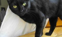 """Breed: Domestic Short Hair-black   Age: Young   Sex: F   Size: S Spayed, Vaccinated, DOB November 30, 2010. """"Girls just wanna have fun"""" and little Jaynie is all girl. This sleek, shiny beauty is always up for some playtime and can entertain herself with"""
