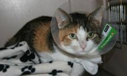 Breed: Calico   Age: Young   Sex: F   Size: M Josie is a one year old Calico. The hat is to prevent the stitches being pulled out too soon.   View this pet on Petfinder.com Contact: Shelter of Hope Animal Services | Cobourg, ON