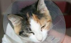 Breed: Calico   Age: Young   Sex: F   Size: M Mamie is a one year old Calico. The hat is worn to prevent the stitches being pulled out too soon.   View this pet on Petfinder.com Contact: Shelter of Hope Animal Services | Cobourg, ON