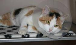 Breed: Calico   Age: Young   Sex: F   Size: M Marilyn is a 6 month old Calico. The hat is worn too prevent the stitches being pulled out too soon.   View this pet on Petfinder.com Contact: Shelter of Hope Animal Services | Cobourg, ON