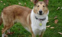 Breed: Collie   Age: Young   Sex: F   Size: L **Roo is part of a bonded pair with Lab Rescue. Please contact Lab Rescue directly for information on how to adopt Roo at info@lab-rescue.ca** Super sweet and sadly surrendered to us due to the child in the