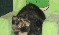 Breed: Domestic Short Hair Tortoiseshell   Age: Young   Sex: M   Size: M Spayed, Vaccinated, DOB November 15, 2009. Lisa loves to sleep on her foster mom's bed and actually watches TV - not occasional glances, but actual watches as long as her foster mom
