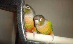 Hi,    i am offering 2 beautiful yellow sided conures. They are hand tamed and will NEVER bite. I dont have much time to spend with them and dont want to see them go wild.I do not know the sexes. Call and leave a voicemail on 416-837-0491 or email for